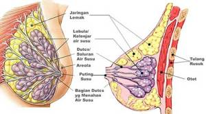 Obat mengencangkan payudara secara alami